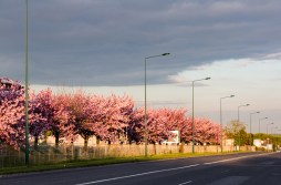 Cerejeiras em Reims