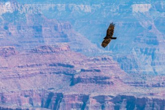 Condor Californiano sobrevoando o Grand Canyon