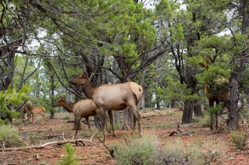 Cervos no Grand Canyon