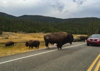Bisão na estrada de Yellowstone