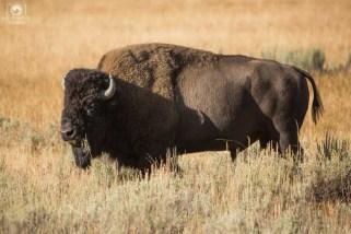 Bisão - A Fauna de Yellowstone