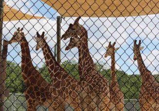 Girafas no Zoo de Naples