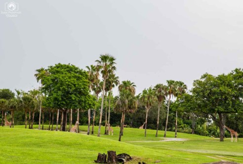 Campo das Girafas no Busch Gardens