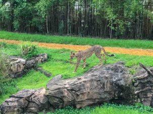 Exposição do Guepardo no Busch Gardens