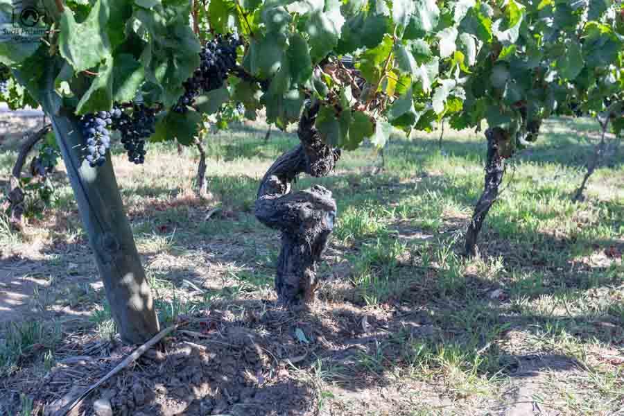 imagem da parreira centenária da viña neyem um dos melhores vinhos chilenos
