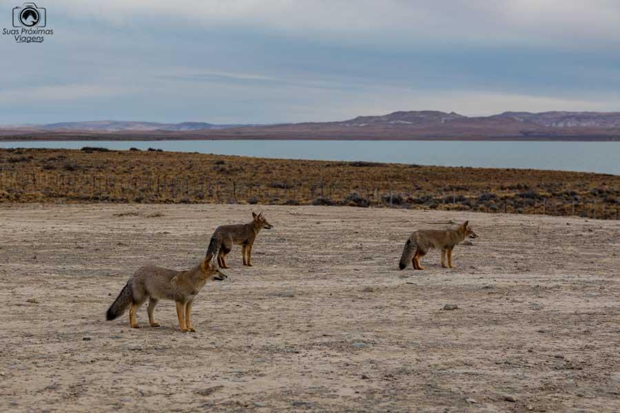 Imagem da recepção de raposas chegando em El Calafate