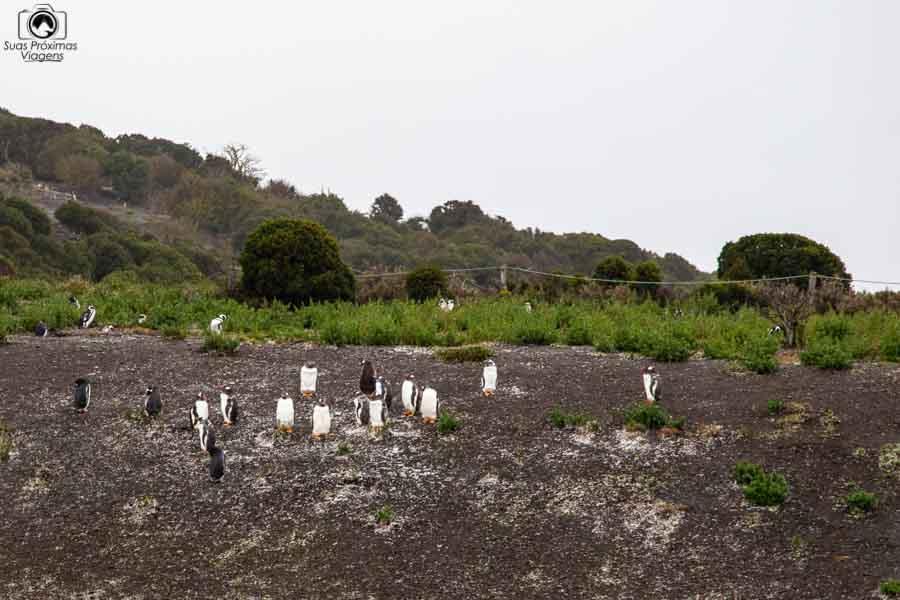 Imagem dos pinguins em Ushuaia
