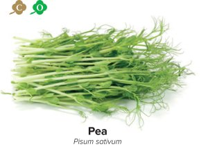 sprouts pea