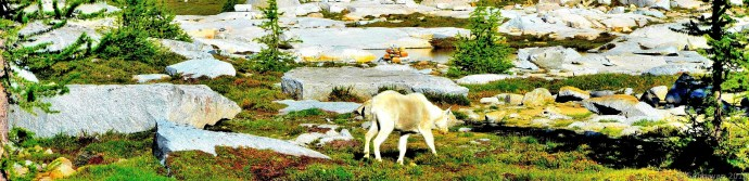 Grass grazing goat 2