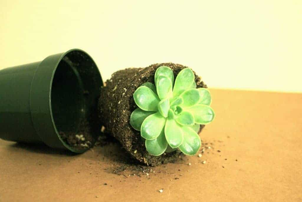 How and when to fertilize succulents