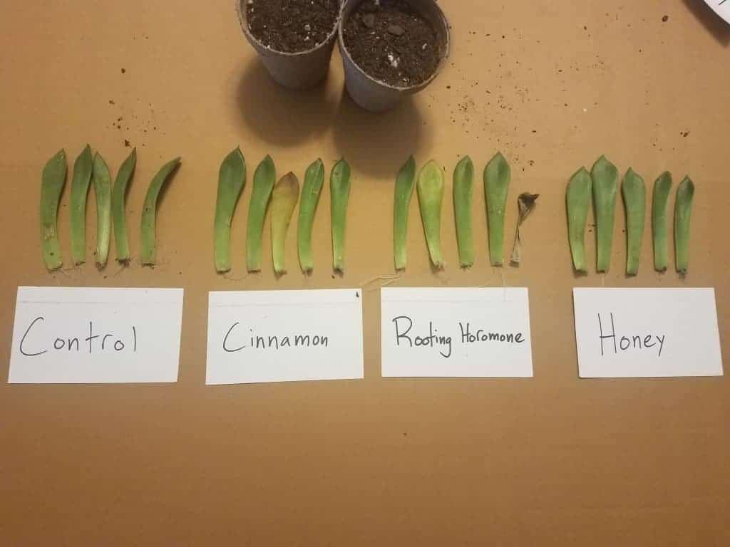 Propagation Experiment: Which Rooting Aid is Most Effective?