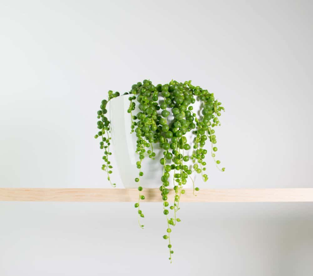 String of Pearls Care Guide (Senecio rowleyanus)