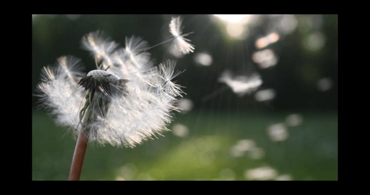 regrets - picture of a dandelion
