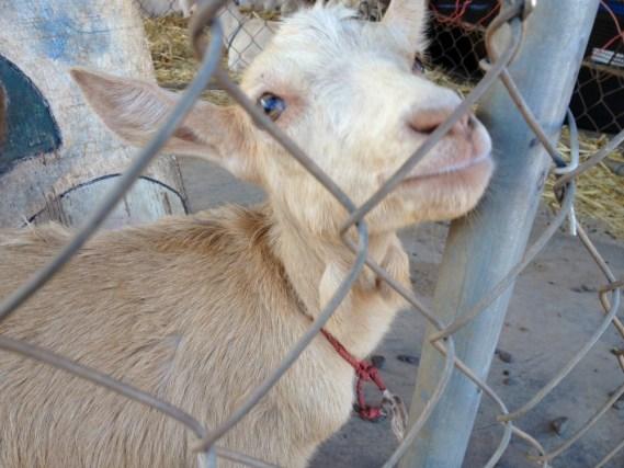 IMG_goat