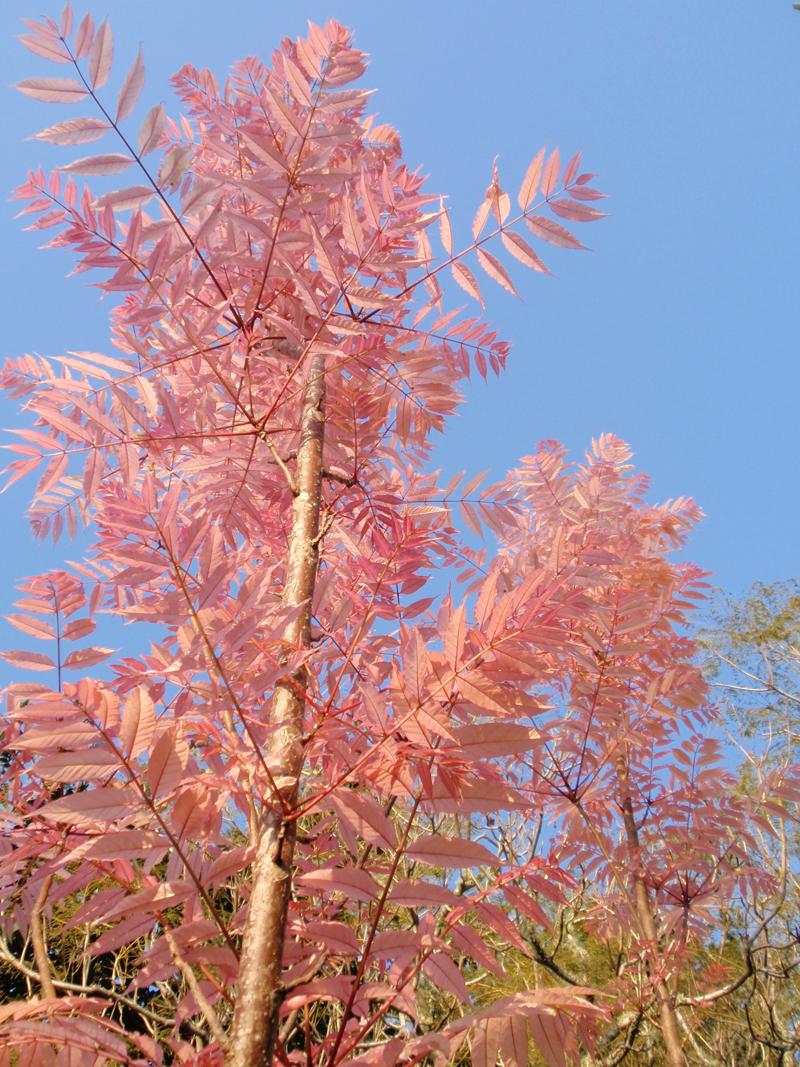 Cedrella sinensis- Chines Toon