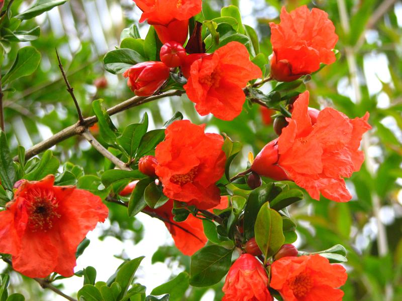 Punica granatum -Pomegranates