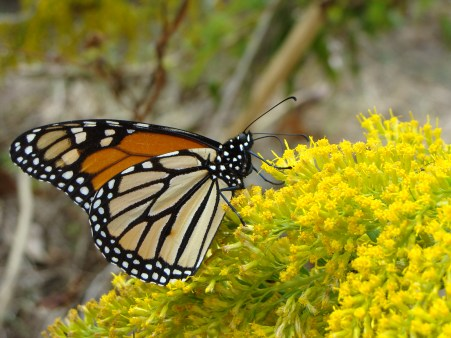MAKING A PIT STOP -- This monarch spends time gathering nectar for its long journey south.
