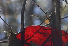 11-23 Red leaf backlit