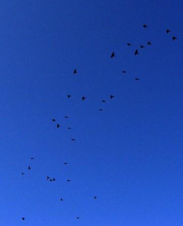BLACK AND BLUE -- Starlings sprinkled across the morning sky.