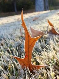Rimed oak leaf.