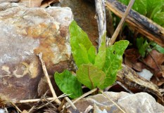 Poke sallet plant sends its first leaves between the rocks.
