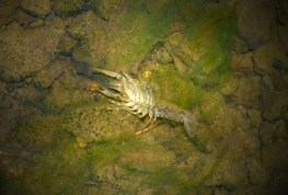 Land lobster molt in the creek that runs through the valley. Had no idea there were crawdads here.