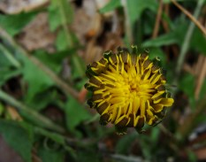 Dandelion getting ready to open.