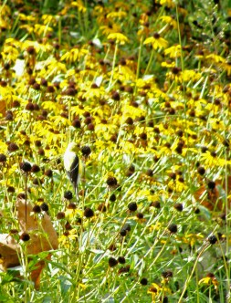 Gold finch eating seeds from sea of black-eyed Susans.
