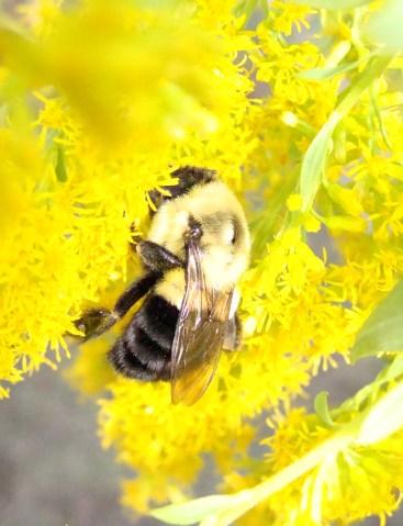 Mason bee nestles deeply into the goldenrod.