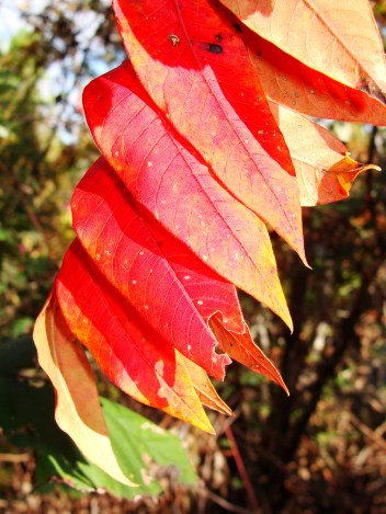 Row of red sumac leaves.