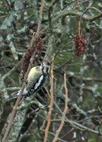 Yellow shafted Flicker in the sumac.