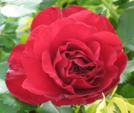 may-flower-red-rose
