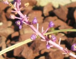 Lilyturf (variegata) flowers