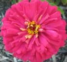 Gorgeous Zinnia Flower