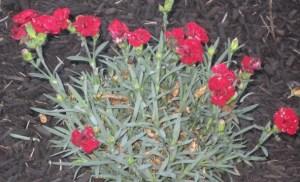 Fruit Punch Dianthus