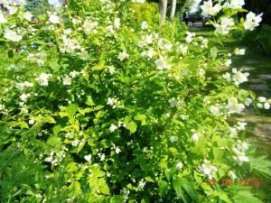 Jasmine bush in full bloom