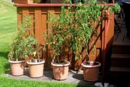 potted-tomato-plants