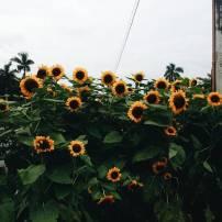 Sunflowers @ UPD