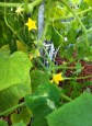Lebanese cucumbers have taken off in the grow beds