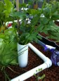 Celery is a thirsty plant and seems to thrive in the grow beds