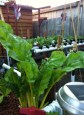 Chard loves the grow beds (NFT rails in the background)