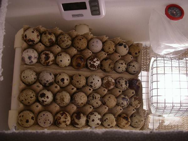 My homemade incubator and homemade egg turner