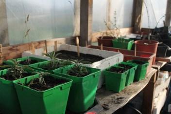Plantitas creciendo protegidas del frío