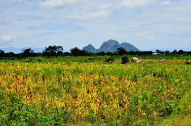 El cultivo de amaranto es característico de esta región.