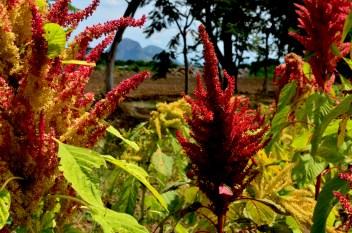 Para las comunidades de Morelos, el amaranto es su principal fuente económica, los colores dan vida. Aproximadamente 350 metros cuadrados les expropian a cada campesino.
