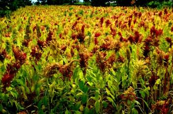Los campos de amaranto colorean de rojo y amarillo el paisaje.
