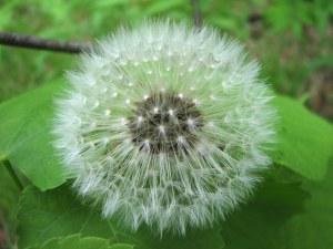 Dandelion_clock_on_leaves