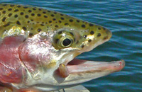 Cropped_trout_3