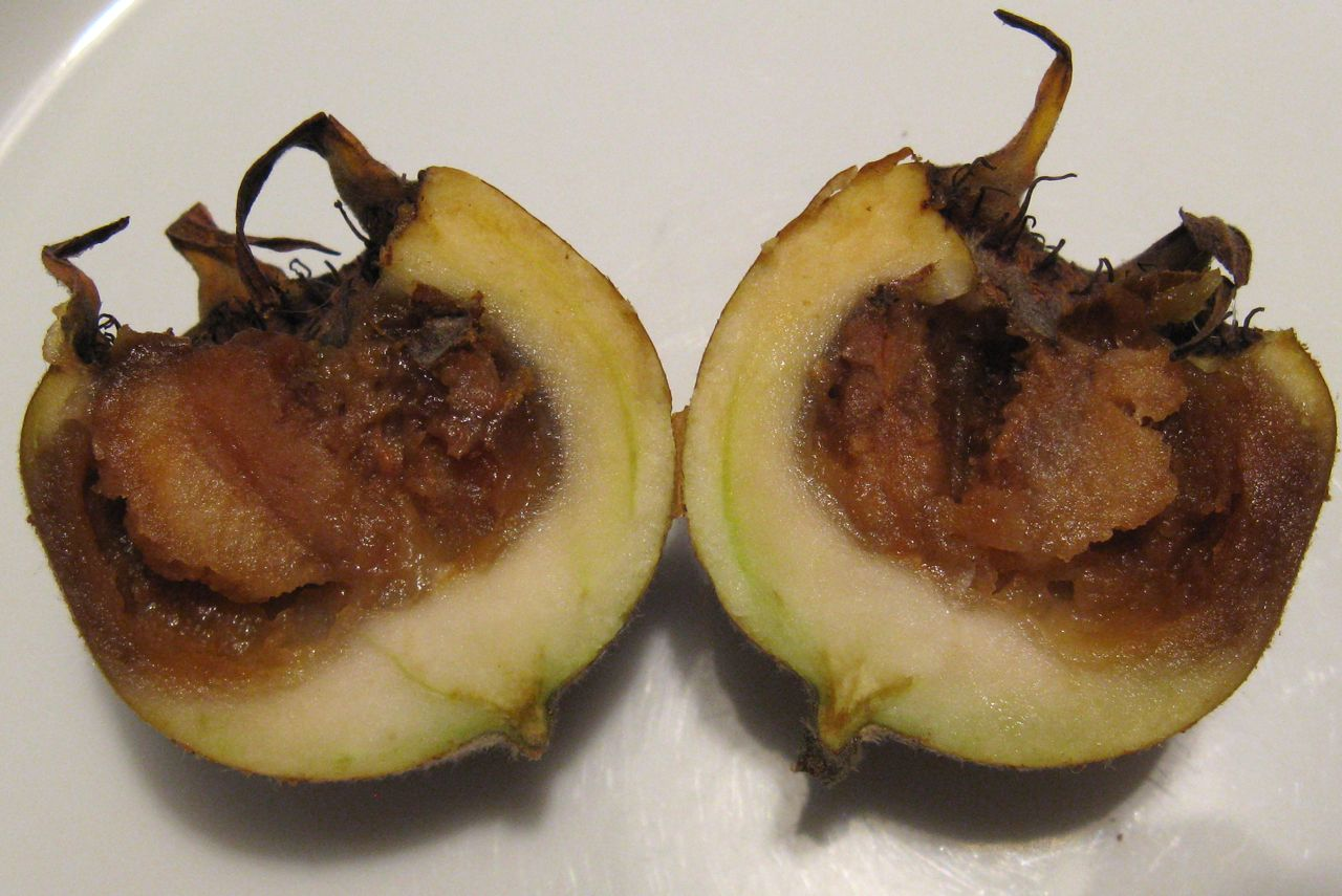 Mespilus_germanica_ripening_process