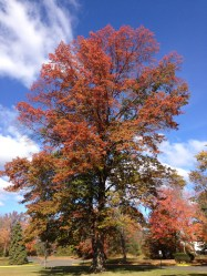 2014-11-02_11_29_54_Pin_Oak_during_autumn_along_Lower_Ferry_Road_in_Ewing,_New_Jersey